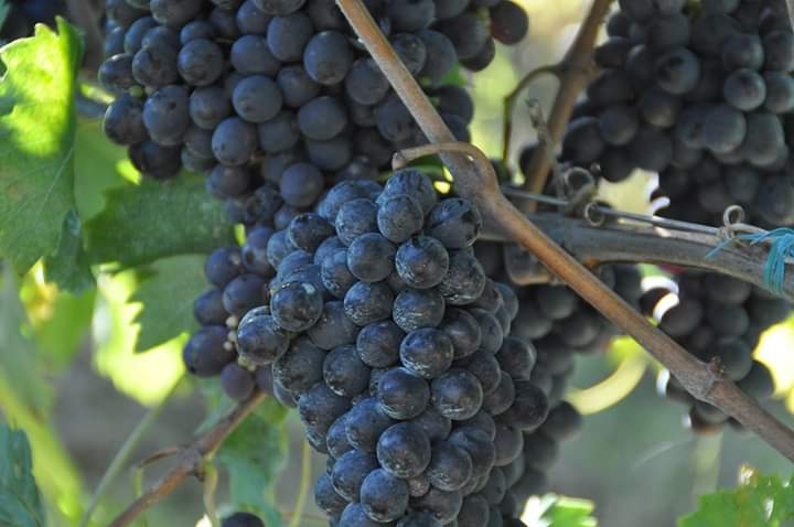 Grapes from Monterpandone